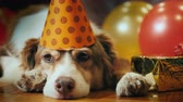 楽しんで : Portrait of a cute birthday dog. In a festive cap lying around gifts
