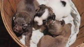 flirten : Several small puppies are sitting in a wooden bucket. Unexpected gift concept Stockvideo