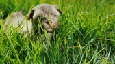 negrito : A cute little puppy is walking in the tall grass. The sun shines brightly on him. Archivo de Video