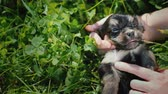 štěně : The owners hands stroke a funny little puppy on the background of green grass