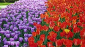 burgundy : A row of purple and red tulips. Keukenhof Park in the Netherlands Stock Footage