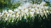 garden flowers : White high tulips are an ornament of a beautiful park in the city garden