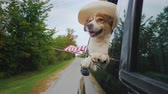 solide : Dog-cowboy in the hat and with the American flag rides in the car