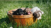 fiel : Basket with cute puppies on green grass Vídeos