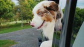 овчарка : The dog jumps out of the car window. It came from a trip