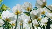 céu azul : Fresh snow-white tulips are growing against the blue sky on a clear sunny day