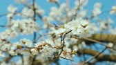 aprikosen : A branch of blossoming apricots against a blue sky
