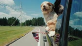 resfriar : A pair of funny dogs with the flag of the United States look out the window of a moving car Vídeos