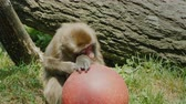 primát : Funny japanese macaque plays with a red ball