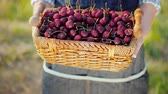 cerise rouge : Farmer shows a basket with ripe cherries Vidéos Libres De Droits