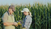 Farmers man and woman work in the field of corn, use the tablet.