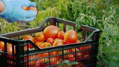 木箱 : Fresh vegetables in the garden - a box with tomatoes among the branches of tomatoes