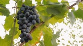 wijn druiven : Grono of dark grapes ripening in the sun