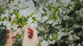 cerises : Womens hands are touching a branch of a flowering tree