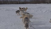 chain : Pack of Sled Dogs Chained. Sled dogs Husky tied to the chain in the winter in the snow