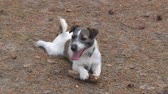 Young Dog Chews on Wooden Stick. Young dog breed Jack Russell Terrier chewing on a wooden stick in the woods Stok Video