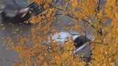 Yellow Leaves and Cars. Yellow birch leaves float in the background of the road and travelling on her car in the fall