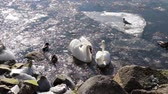 птицы : Swans and Gulls in Winter. Swans, ducks and seagulls on the sea among the ice in the winter. The weather is Sunny. Waterfowl on the surface of the water among the ice. Стоковые видеозаписи