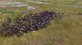 Flying over a Herd of Reindeer. View of the herd of reindeer from above. Reindeers moving in a circle in the tundra Stok Video