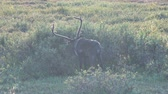 северный олень : Reindeer in Pasture. A reindeer eats leaves from a dwarf willow. The deer graze in the tundra in the evening during sunset. Reindeer have big horns Стоковые видеозаписи