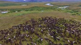 Reindeer Run on Tundra in Autumn. Top view of the herd of reindeer. Deer run on the tundra in early autumn. Deer run fast