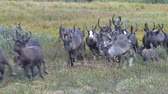 nyírfa : Herd of Reindeer Runs Past Camera. Reindeer run through the bush of the dwarf birch towards the video camera. Deer run fast across the tundra