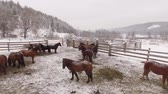 bashkortostan : Horses in the snow in a corral, aerial view Russia