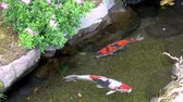 beautiful koi fish swimming in clear water