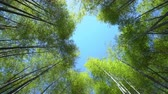 blue sky among bamboo foliage overhead, low angle shot