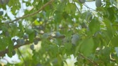 prune : Plums grow in countryside orchids on sunny summer day Vidéos Libres De Droits