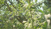 fruit growing : Plums grow in countryside orchids on sunny summer day Stock Footage