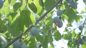 ステム : Plums grow in countryside orchids on sunny summer day 動画素材