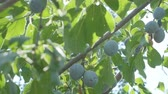 Plums grow in countryside orchids on sunny summer day Stok Video
