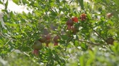 backyard : Pomegranate orchids on sunny summer day