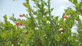 quintal : Pomegranate orchids on sunny summer day