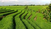 vadi : Drone flying over rice plantations on a sunny day in Bali, Indonesia. Stok Video