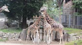 Europe, Baltic, Latvia, Riga. Four giraffes eat green branches in the Riga zoo. Stock Footage