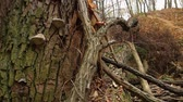 broken tree : autumn, a trunk of a broken tree with a fungus, static frame. Stock Footage