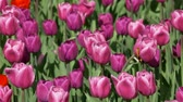 Red Tulips as Background sways in the wind, camera moving Vídeos
