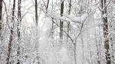 Winter forest, trees covered with fresh snow after snow falling. Tranquil scene.
