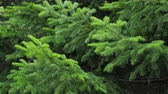 針葉樹 : Green spruce branches as a textured background. Sways in the wind.