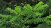 urge : Green spruce branches as a textured background. Sways in the wind.