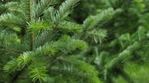 пышный : Green spruce branches as a textured background. Sways in the wind.