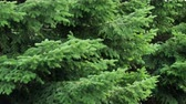 Green spruce branches as a textured background. Sways in the wind.