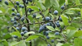 Wild blue plum berries on the summer garden.