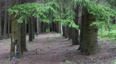 Walkway in the Pine Forest Between Trees Growing in a Row.