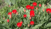 浪漫 : Red tulips swinging in the wind on a spring day.