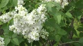 syringa : Lilac flower white color in spring morning Stock Footage