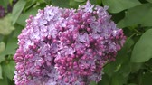 syringa : Blooming lilac in spring morning