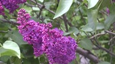 syringa : Blooming lilac in spring morning. Stock Footage